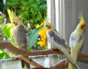 What Kind of Birds that Can You Keep as Pets at Home?