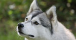 Can Husky Dogs Live in Hot Weather? What Are the Treatments for Husky Dogs?
