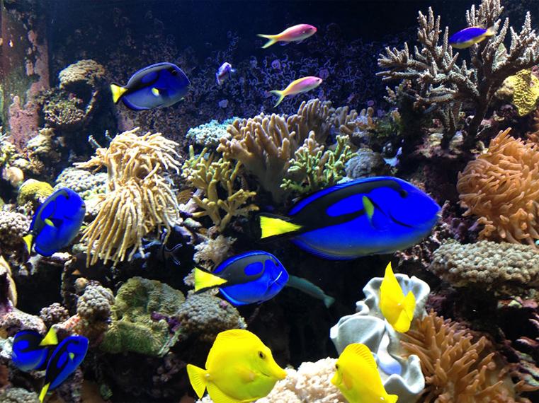 Corel Reef Fish for saltwater aquarium