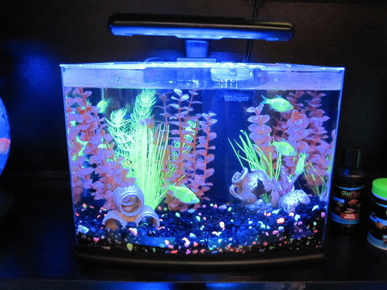 Fishes that will Be compatible with GloFish in the Aquarium