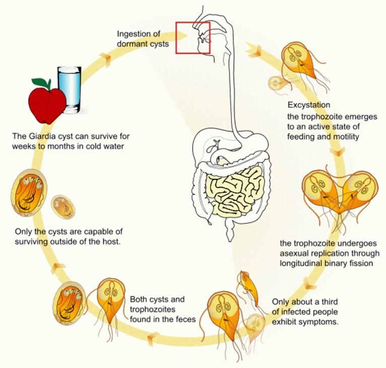 paraziták kezelése a méhben mint