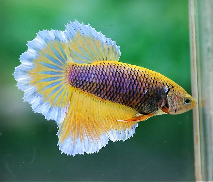 The Best Methods on How to Tell the Tail Type of Your Female Betta
