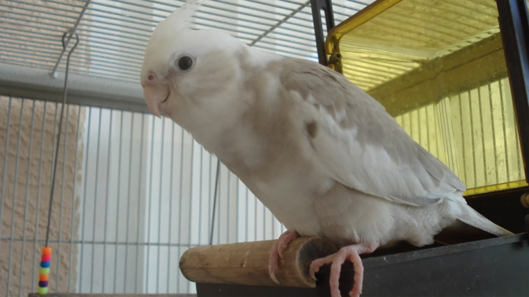 What is the best parrot to have as a pet