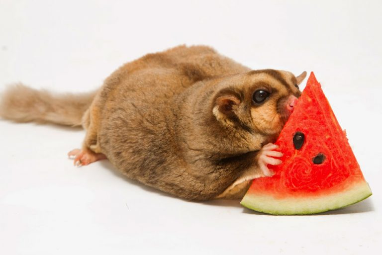 Can hamsters and sugar-gliders share cages