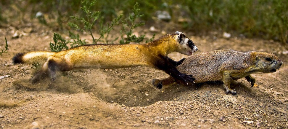 How does the Black Footed Ferret Hunt
