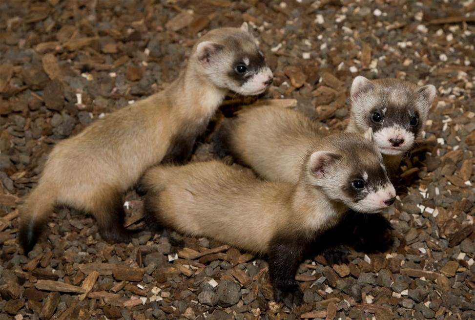 Is the black footed ferret endangered