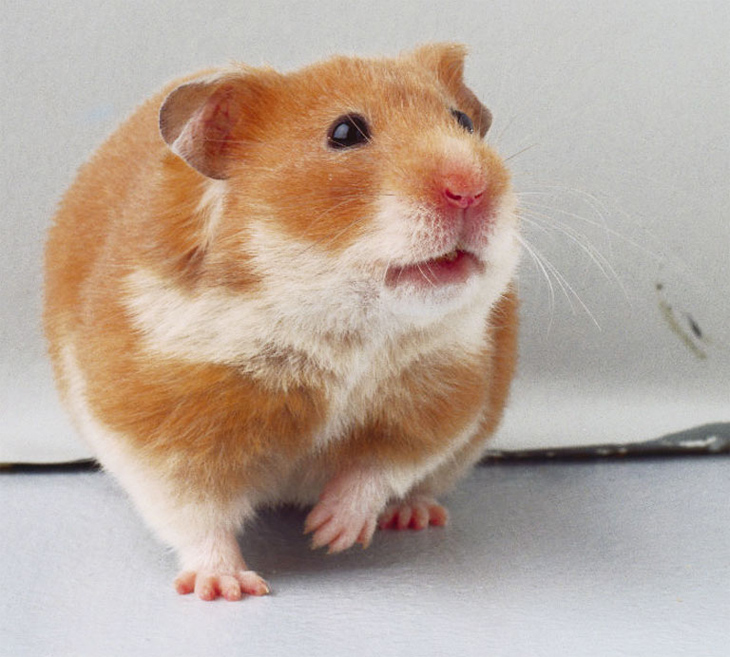 What is A Fancy Hamster Why Are They Called That