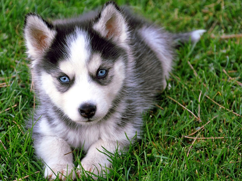 Which breed of Siberian Husky to buy