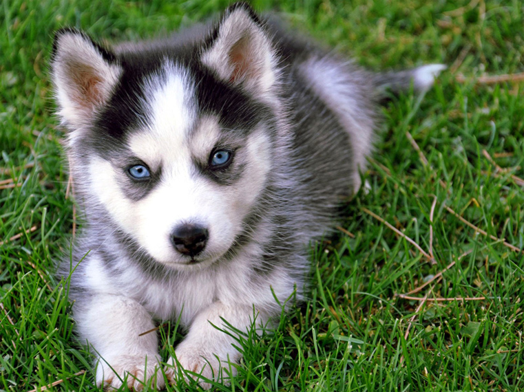 What is the best dog food for a Siberian Husky puppy