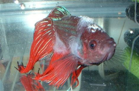 betta fish, pet, fungal infection, treatment, disease