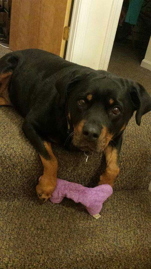 How can you help your Rottweiler with Cushing's disease