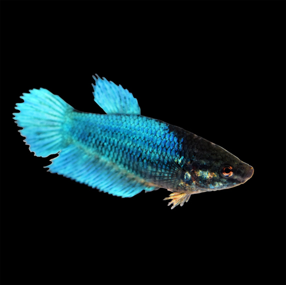 How long Siamese fighting fish last without food?