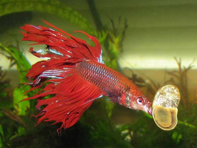 What to if you overfeed a fighting fish