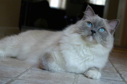 Can you shave a Ragdoll cat