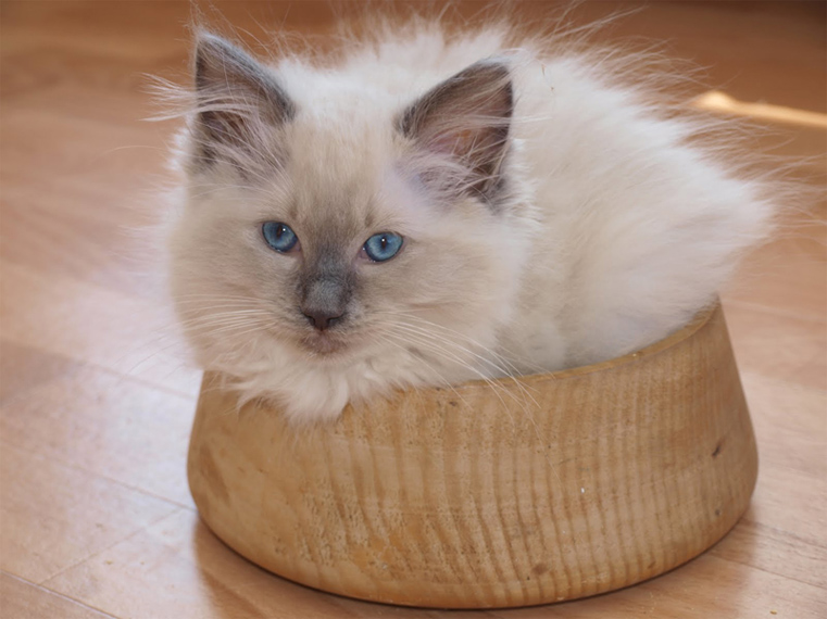 Do Ragdoll Cats have to stay indoors