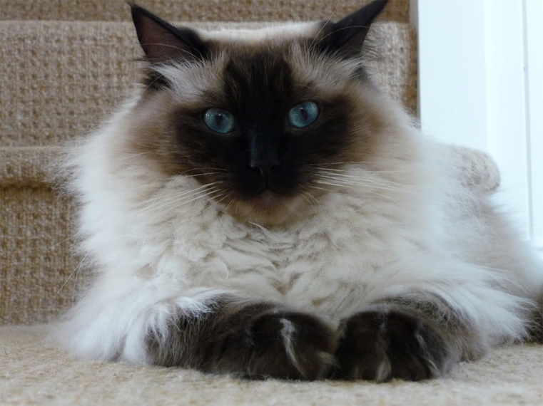 Half Ragdoll Cats - Let Them Out or Keep Them In