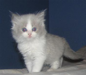 How long can a Ragdoll kitten stay at home alone