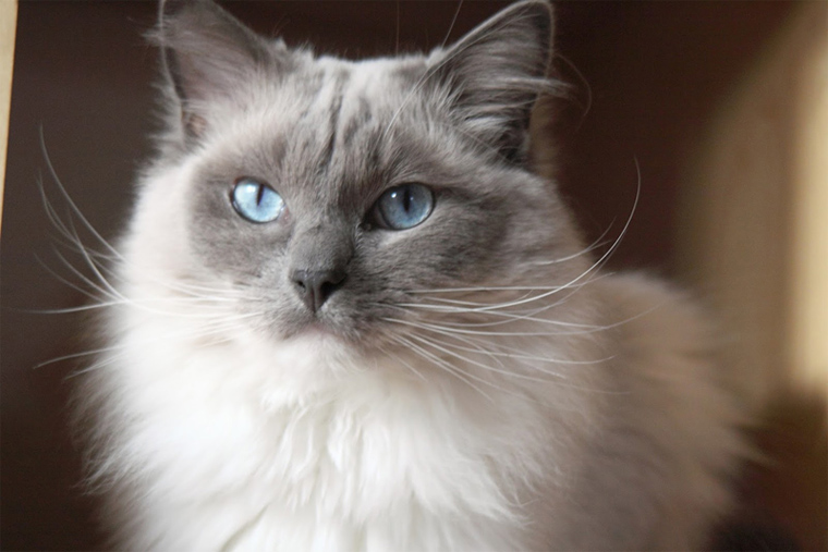 The growth stages of a ragdoll cat