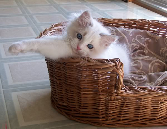 What Is the Best Food to Feed My New Ragdoll Cat