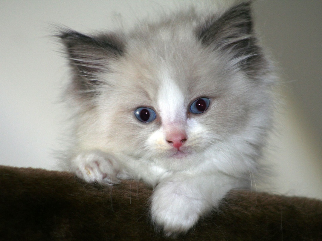 What room temperature should I keep my house for a new Ragdoll kitten