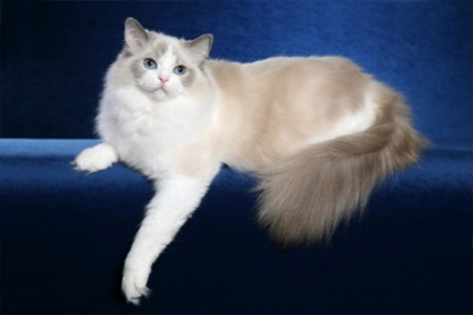 Which Cat Is the Most Perfect Pet, British Shorthair or Ragdoll