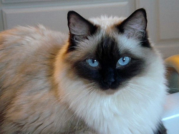 Why indoor ragdoll cat wants to go out and constantly meows