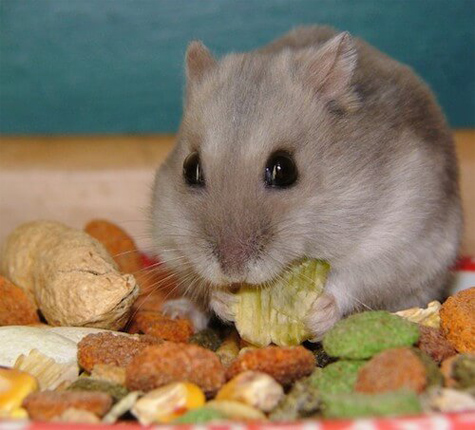 What nuts can hamsters eat