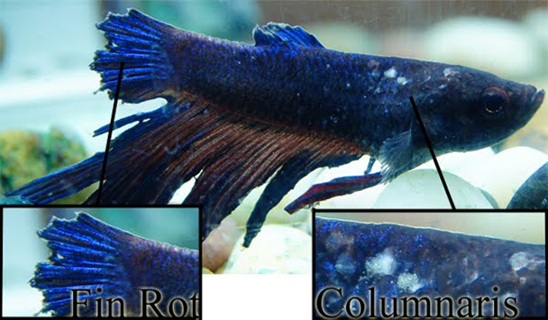 What Causes Betta Fish Fin Rot And How To Treat It Pet Solution Friend