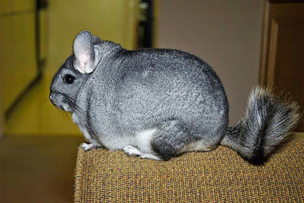 Chinchilla Cage – Poops Fly Everywhere