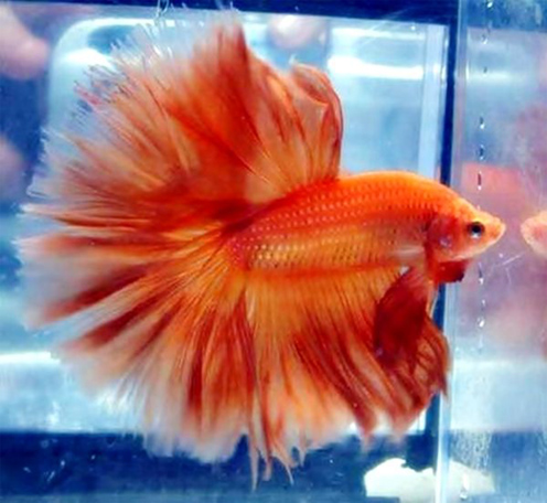 Is sudden water temperature change dangerous for betta for Betta fish temp